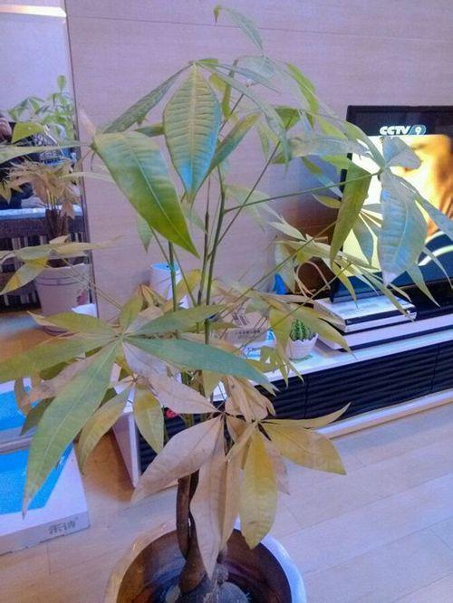 发财树叶子为什么发黄?