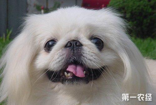 京巴犬寿命_京巴狗的寿命是多长? - 养殖技术 - 第一农经网