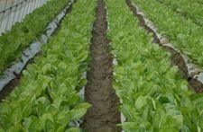 秋莴笋种植技术