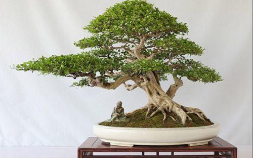 48例盆景树种,总会有属于你的那棵 - 冬日暖陽 - 缘来如此心动