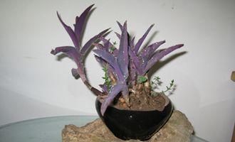 紫罗兰怎么养?