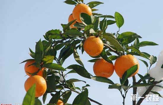 四川自贡特产水果:自贡红橘
