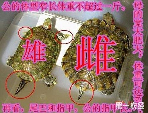 乌龟/黄喉拟水龟:...
