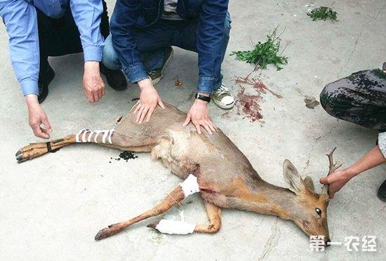 狍子为国家二级保护野生动物