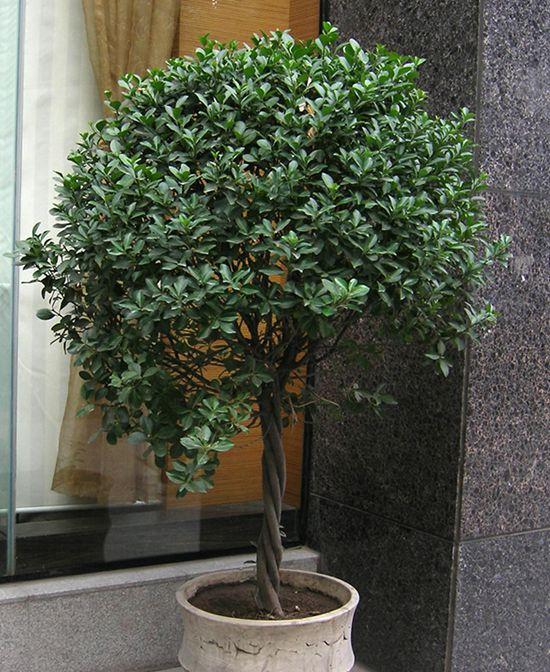 冬青树图片分享