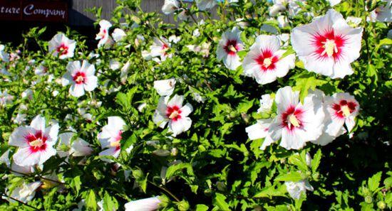 木槿花,即锦葵科木槿属植物木槿(Hibiscus syriacus L.)的花,木槿花多色艳,非常美丽。以花朵大而完整,干燥,色白无杂质者为佳。是作自由式生长的花篱的极佳植物。适宜布置道路两旁、公园、庭院等处,可孤植、列植或片植。木槿花也可以作为一种中药使用,同时可以食用。并且历代的诗文都有对木槿花的记述。