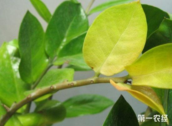 金钱树叶子发黄怎么办?