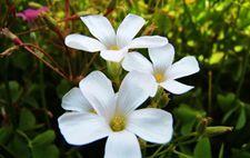 白花酢浆草生长环境