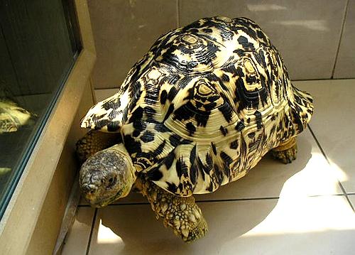 <b>豹龟好养吗?</b>