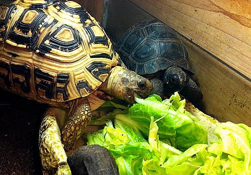 豹龟吃什么最好?