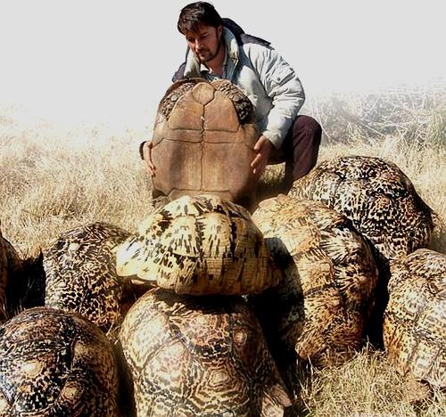 豹龟能长多大?