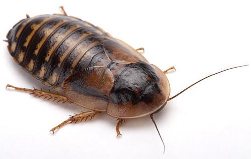 杜比亚蟑螂有什么用?