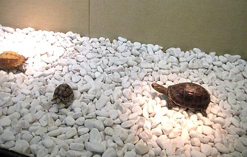 乌龟吃石头怎么办?