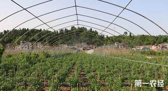 湖南麻阳县洲上村:蔬菜种植基地将丰收