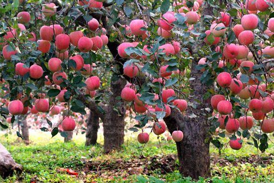 苹果树成长过程图片_苹果树知识分享(图片) - 种植技术 - 第一农经网