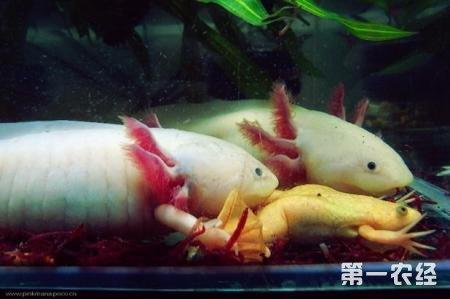 六角恐龙鱼能长多大?