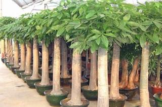 【发财树专题】发财树养殖方法|注意事项