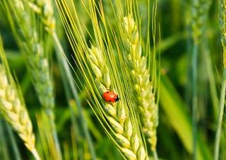 【小麦专题】小麦种植技术|病虫害防治
