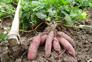 【甘薯专题】甘薯种植技术|地瓜病虫害防治