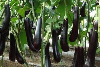 【茄子专题】茄子种植技术|病虫害防治