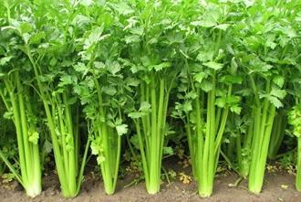 【芹菜专题】芹菜种植技术大全|病虫害防治