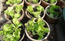 生菜播种时间及播种方法
