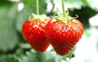 【草莓专题】草莓种植技术|病虫害防治