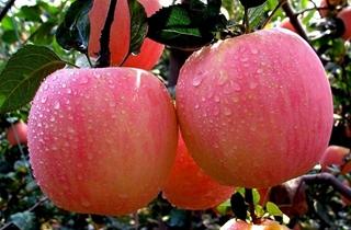 【苹果专题】苹果种植技术|苹果病虫害防治