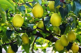 【梨树专题】梨树种植技术|梨树病虫害