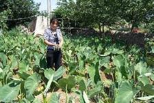 莱阳芋头高效栽培技术