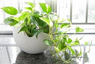 【绿萝专题】绿萝养殖技术|绿萝病虫害防治