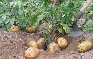 【马铃薯专题】马铃薯种植技术|土豆病虫害