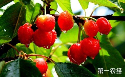 大棚种植有机樱桃的果农都会