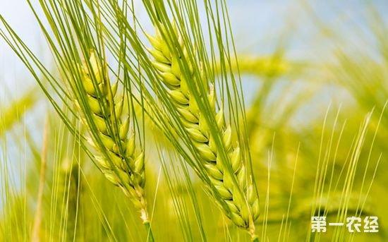 新疆塔城市为控制小麦病害免费发放农药