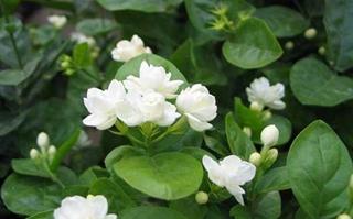 【茉莉花专题】茉莉花种植技术|茉莉花病虫害