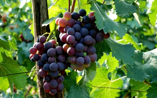 【葡萄专题】葡萄种植技术|葡萄病虫害