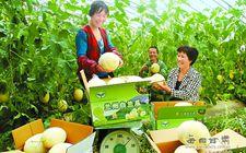 兰州皋兰县5万亩优质白兰瓜采摘上市
