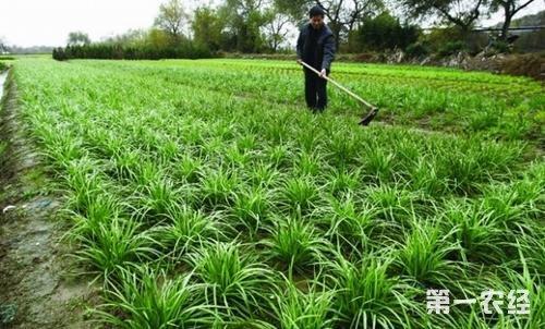 韭菜常见病虫害及其防治方法