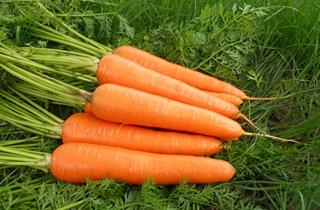 【胡萝卜专题】胡萝卜种植技术大全|病虫害防治