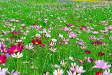 波斯菊的花期与波斯菊花语