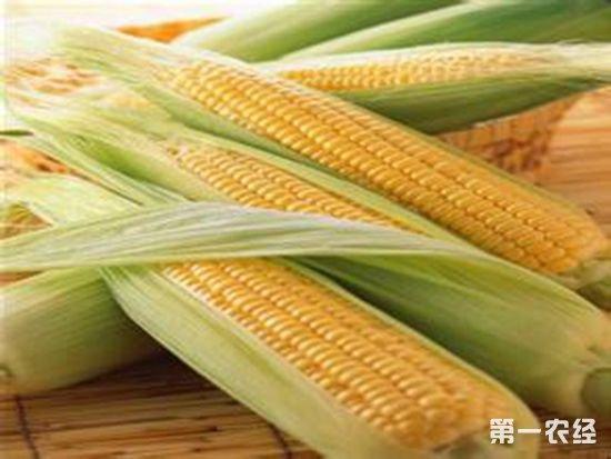 吉林松原特产:乾安糯玉米