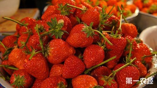 辽宁丹东特产:东港草莓