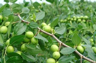 【枣树专题】枣树种植栽培管理技术|病虫害