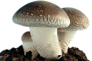 【香菇专题】香菇种植技术|病虫害
