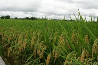 【水稻专题】水稻栽培种植技术|病虫害