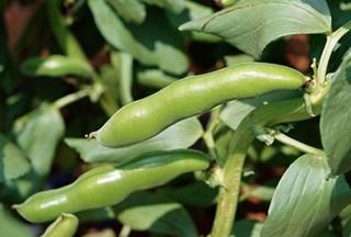 【蚕豆专题】蚕豆种植技术大全 蚕豆病虫害