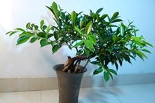 榕树的繁殖方法