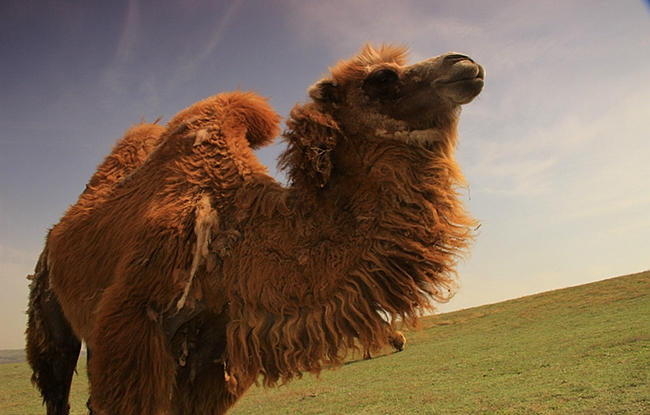 云南文山骆驼两年出栏 高峰身价过万元