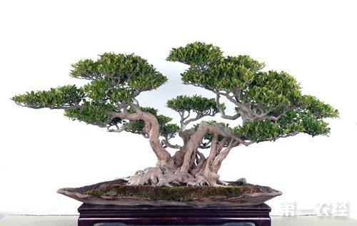 榕树种植技术 盆栽榕树养殖要点