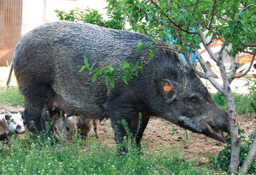 四川遂寧兇猛的野山豬賺錢有門道